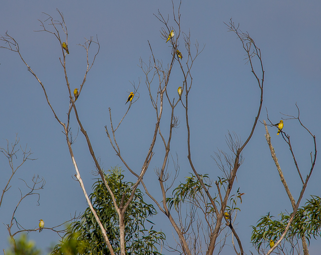 Golden Orioles 8614