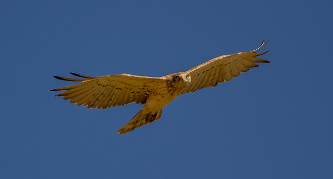 Short toed Eagle 2853