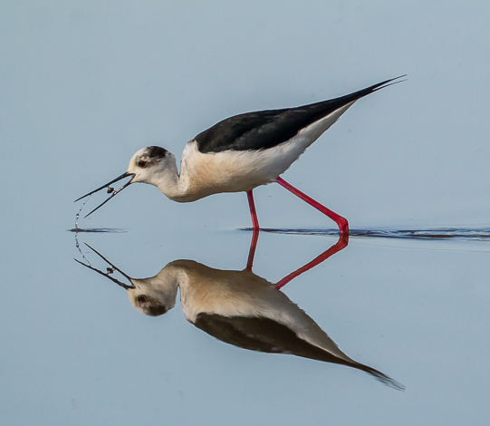 Black winged Stilt for PiP 5546